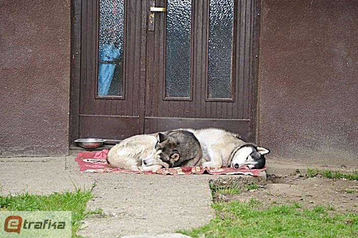 životinje u jevrejskoj (3)
