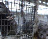 Test humanosti: Da li će BiH zabraniti uzgoj životinja radi proizvodnje krzna?